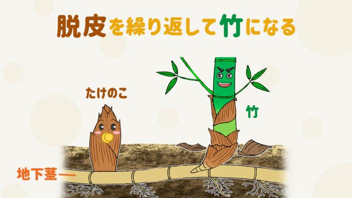 [たけのこの豆知識]なぜ皮があるの&何日くらいで竹になる?