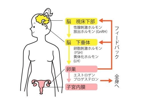 エストロゲンが分泌される仕組みイラスト画像