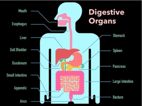 消化管のイラスト画像
