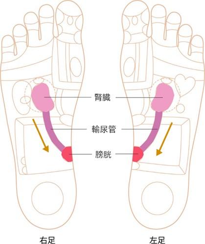 腎臓~膀胱反射区画像