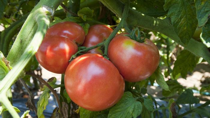 かんたん家庭菜園!プランターでトマト栽培[準備&植付け]
