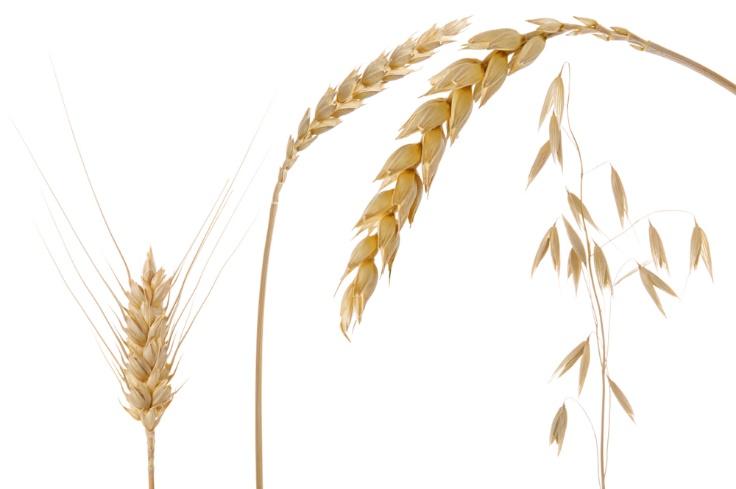 麦類の画像