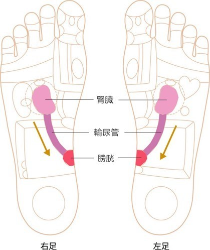 腎臓・輸尿管・膀胱の反射区画像