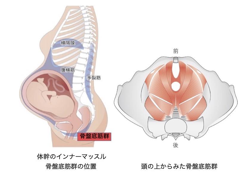 骨盤底筋群の図解
