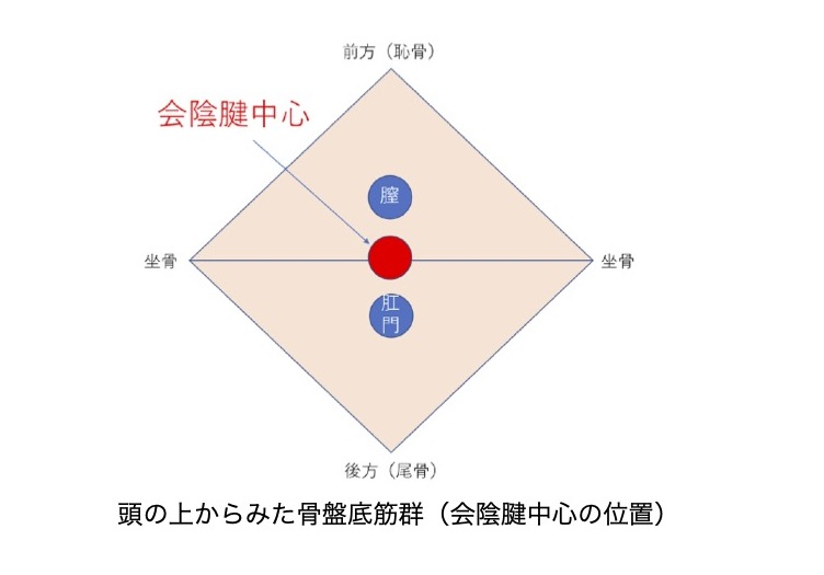 会陰腱中心の位置図版