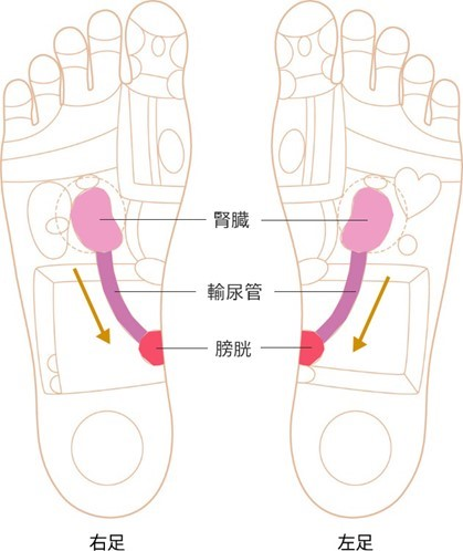 腎臓~膀胱の反射区イラスト画像