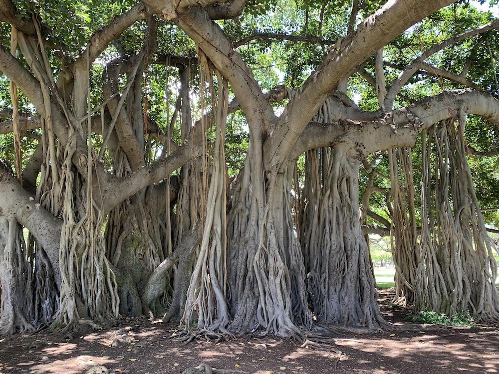 ハワイの不思議な樹木