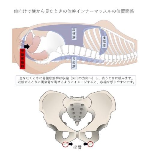 坐骨の位置と骨盤底筋群を収縮するときのイメージ図