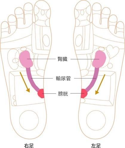 腎臓~膀胱のゾーンイラスト画像