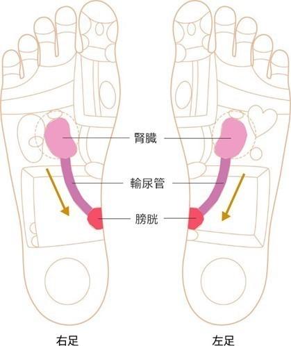 腎臓~膀胱ゾーン画像